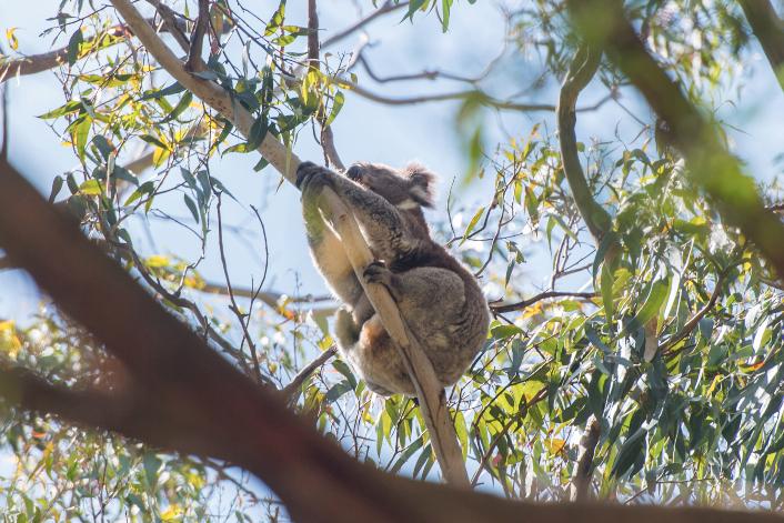 koalaBON