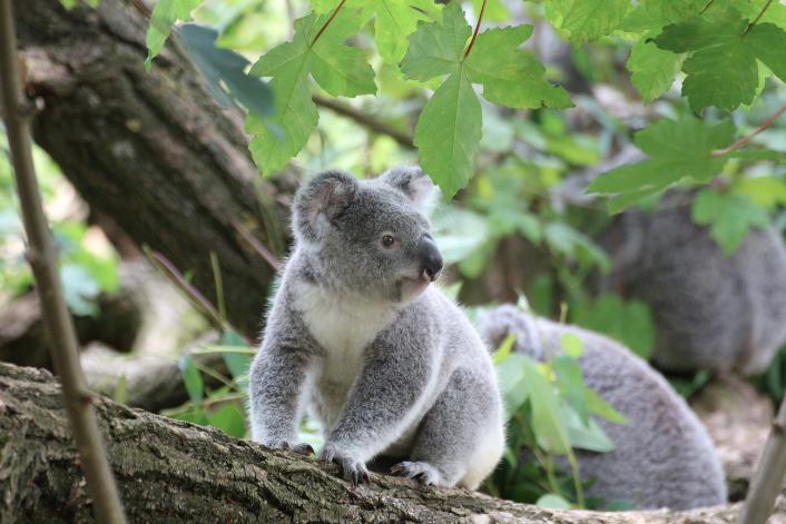 koalaBON(1)